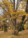 Solitaire tree Stock Photos