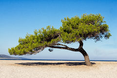 Solitaire tree on beach Stock Photos