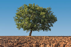 Solitaire tree Stock Photography