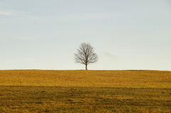 Solitaire tree on the meadow. One tree on the meadow. Yellow field Stock Images