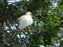 Solitaire white birding sitting in the morning sun. Bird sitting in the morning sun starting the day royalty free stock image