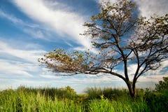 Solitairebaum und tiefer blauer Himmel Stockbild