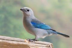 Solitario di Azul Fotografia Stock