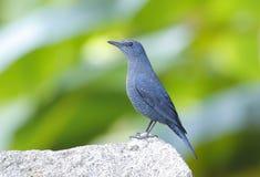 Solitarius di Monticola del passero solitario Fotografia Stock