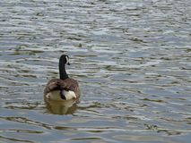 Canada Goose and Wavy Background stock photo