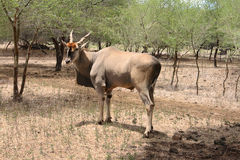 Solitary adult male eland stock image