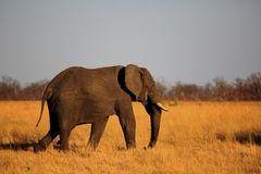 Elephant - Walking across the sun-kissed yellow African plains in Hwange National Park. A solitary African Elephant walking across the vast dry open plains of stock photo
