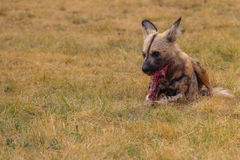 Solitary African Wild Dog eating Royalty Free Stock Images