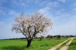 Solitary almond tree in Portugal Stock Images