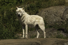 A solitary Arctic wolf Royalty Free Stock Photo