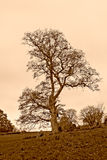 Solitary Autumn Tree HDR Sepia Tone Royalty Free Stock Image