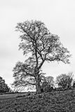 Solitary Autumn Tree HDR. Shallow Depth of Field black and white photography Royalty Free Stock Photos