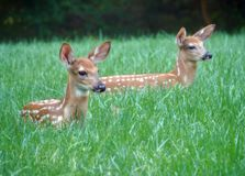 A pair of newborn baby deer resting in the meadow by a forest Royalty Free Stock Photo