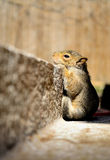 Solitary Baby Squirrel Royalty Free Stock Image