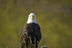 Solitary Bald Eagle. Sitting on a ridge, in Alaska Stock Photo