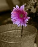 Solitary Barbeton Daisy in a metal bucket retro style. A pink solitary Barbeton Daisy in a metal bucket retro style Stock Photo