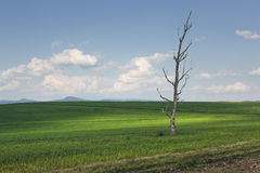 Solitary barren tree in a green wheat field Royalty Free Stock Photography