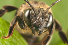 Solitary bee Stock Image