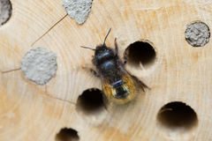 Solitary bee Royalty Free Stock Images
