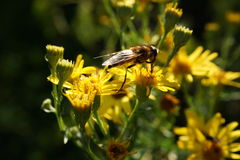 Solitary Bee on Yellow Flowers Royalty Free Stock Photography