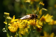 Solitary Bee on Yellow Flowers Stock Photography