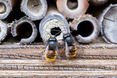 Solitary bees Royalty Free Stock Images