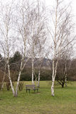 Solitary bench under the birch trees Stock Photography