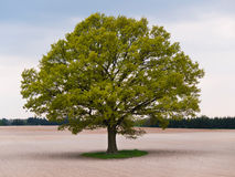 Solitary big oak tree in the middle of field Stock Image