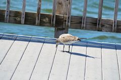 A soliary bird walking along a pier pecking the dock. A solitary bird walking along the boardwalk next to the water, pecking for tidbits of food stock photo