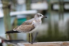 A soliary bird walking along a pier pecking the dock. A solitary bird walking along the boardwalk next to the water, pecking for tidbits of food stock images