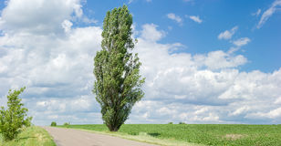 Solitary black poplar near of a rural road Stock Photography