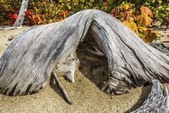 Solitary bleached driftwood log with cave-like arch, Flagstaff L. Closeup of a solitary bleached driftwood log with a cave-like arch on the sandy beach of Stock Photo