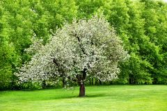 Solitary blooming appletree Stock Photography
