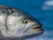 Solitary Blue fish face Stock Photography