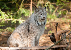 Solitary Bobcat Pacific Northwest Wild Animal Wildlife Royalty Free Stock Images