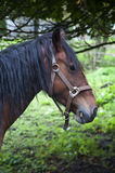 Solitary Brown Horse Royalty Free Stock Photos
