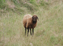 Solitary Brown Sheep Royalty Free Stock Image