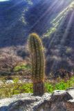 SOLITARY CACTUS Royalty Free Stock Image