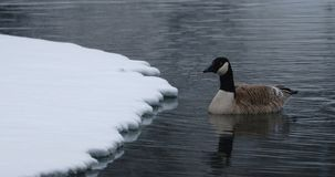 Solitary Canada goose swimming to snowy shore royalty free stock photos