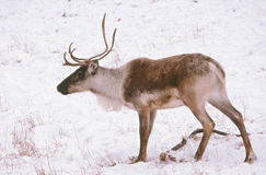 Solitary Caribou In Snow Covered Meadow. A single woodland caribou crossing through a snow covered meadow stock photos