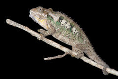 Solitary Chameleon Royalty Free Stock Photo