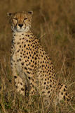 Solitary Cheetah Stock Photos