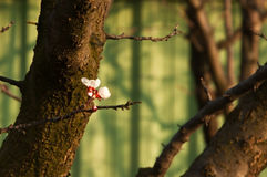 Solitary cherry blossoms. First cherry blossoms in spring royalty free stock photo