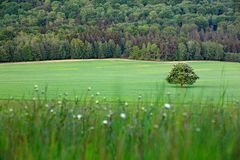 Solitary chestnut tree, with white bloom, on the meadow, with dark forest in background. Landscape from Czech nature. String time. Tree with white boom on stock photos