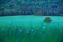 Solitary chestnut tree, with white bloom, on the meadow, with dark forest in background. Landscape from Czech nature. String time. Tree with white boom on royalty free stock image