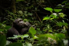 A Contemplative Chimpanzee in Uganda royalty free stock image
