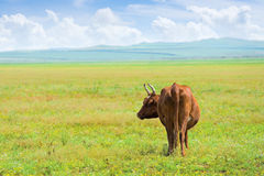 Solitary cow. Solitary red cow at summer flower meadow royalty free stock photography
