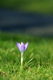 Solitary crocus in bloom Stock Photography