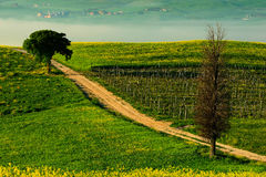Solitary cypress tree with gravel rad in morning fog, Tuscany, Italy. Roar between the  fields. Flower meadow landscape in Tuscany Royalty Free Stock Photos