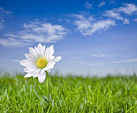 Solitary daisy. Royalty Free Stock Photography